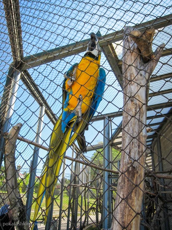 Сине-жёлтый Ара