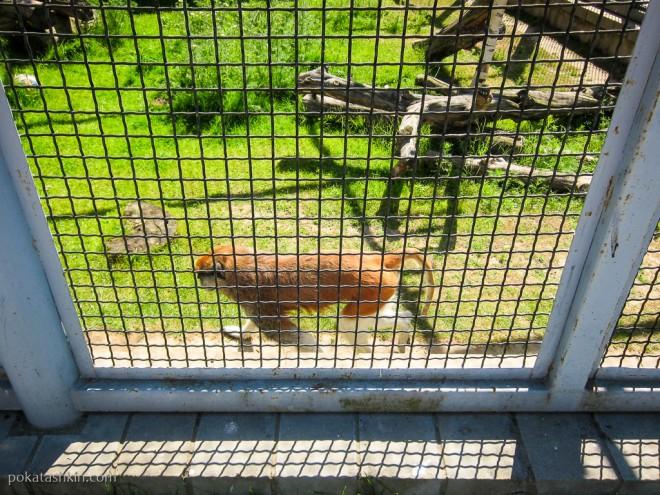 Красная мартышка (Гусар)