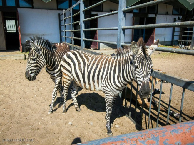 Бурчеллова (саванная) зебря