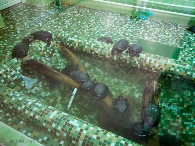 Дальневосточная мягкотелая черепаха