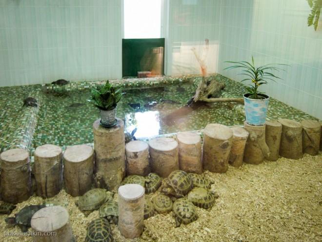 Среднеазиатская, Красноухая и Каспийские черепахи