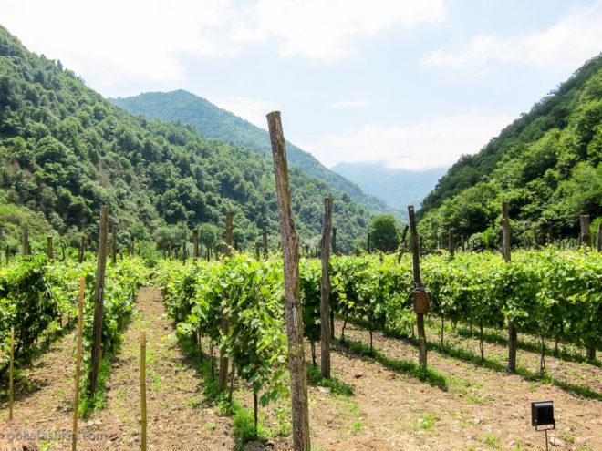 Виноградники в Аджарском доме вина