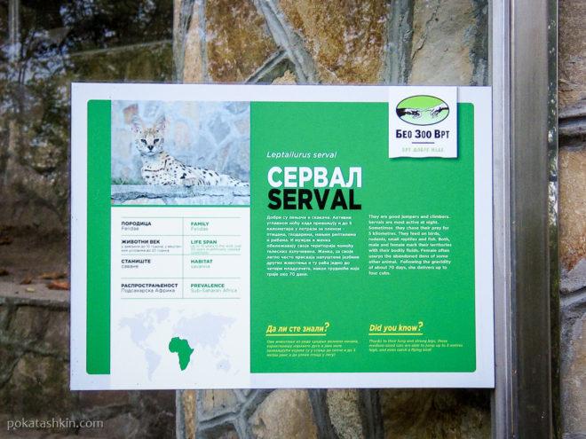 Сервал