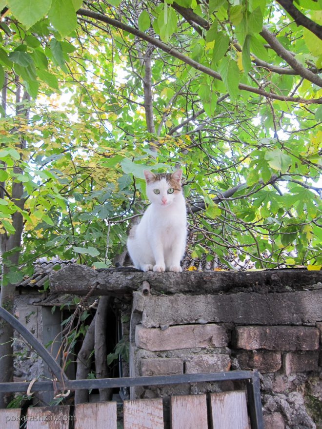 Грузинский котик